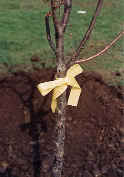 A sapling tied with a yellow ribbon.